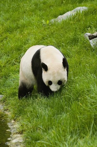 zol素材 高清图片 可爱大熊猫图片