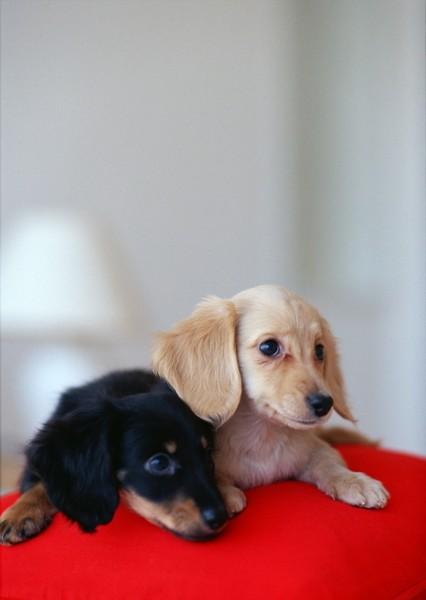 zol素材 高清图片 动物图片 超可爱小狗图片  图片素材jpg z金豆:0